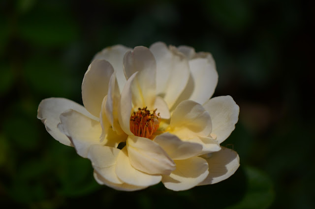 rose Wollerton Old Hall, David Austin rose, amy myers photography, desert garden, small sunny garden
