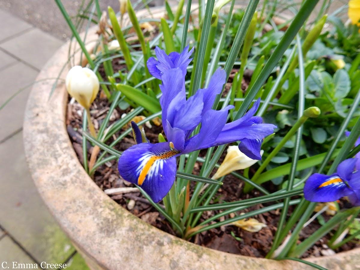Spring Flowers Adventures of a London Kiwi