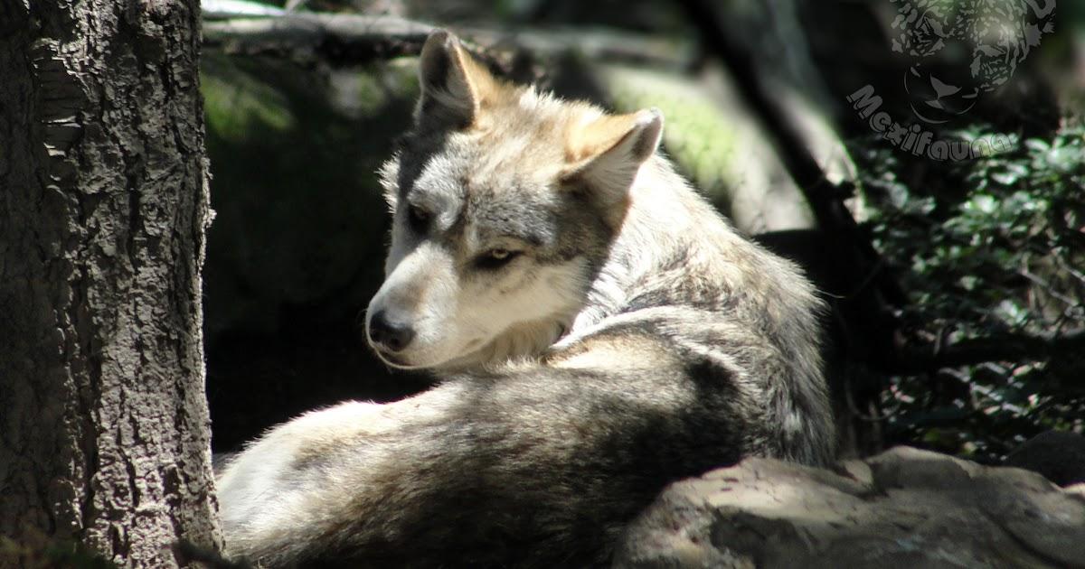 Rehabilitación Del Lobo Gris En Proceso: MEXIFAUNA: Lobo Gris Mexicano (Canis Lupus Baileyi