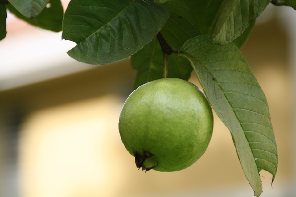 Guava for constipation constipation relief health treasure constipation relief guava for constipation guava constipation guava for constipation guava and ccuart Image collections