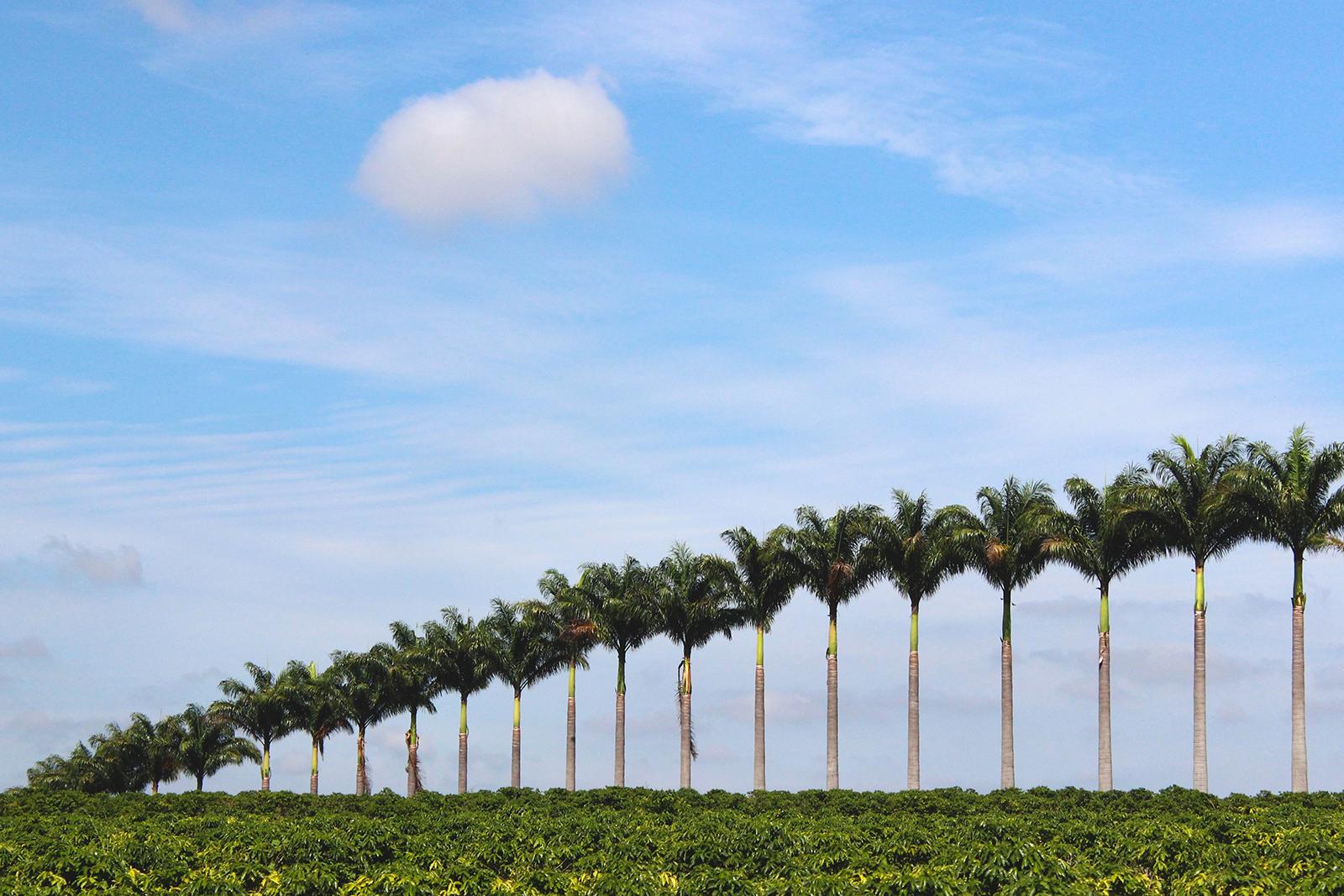 palmeiras enfileiradas céu azul