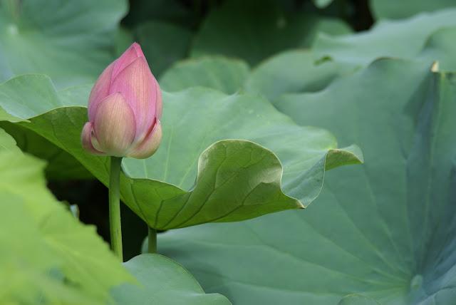 fleur de lotus éclosion