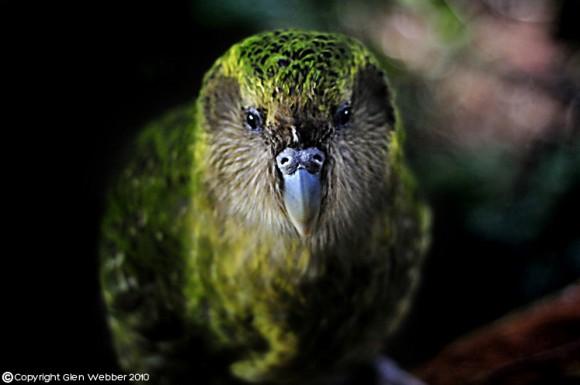 طيور ملونه روعه 2016 ، طائر البغبغان المميز 2016 ، صور طيور منوعه Sirocco-The-Kakapo-Ulva-Island-New-Zealand-2009-Scaled-580x385.jpg