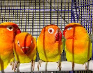 Harga Anakan Lovebird Terbaru 2015