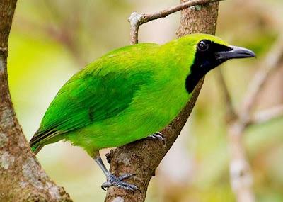 Kisaran Harga Burung Cucak Ijo Mini Terbaru Saat Ini 2018 Terlengkap