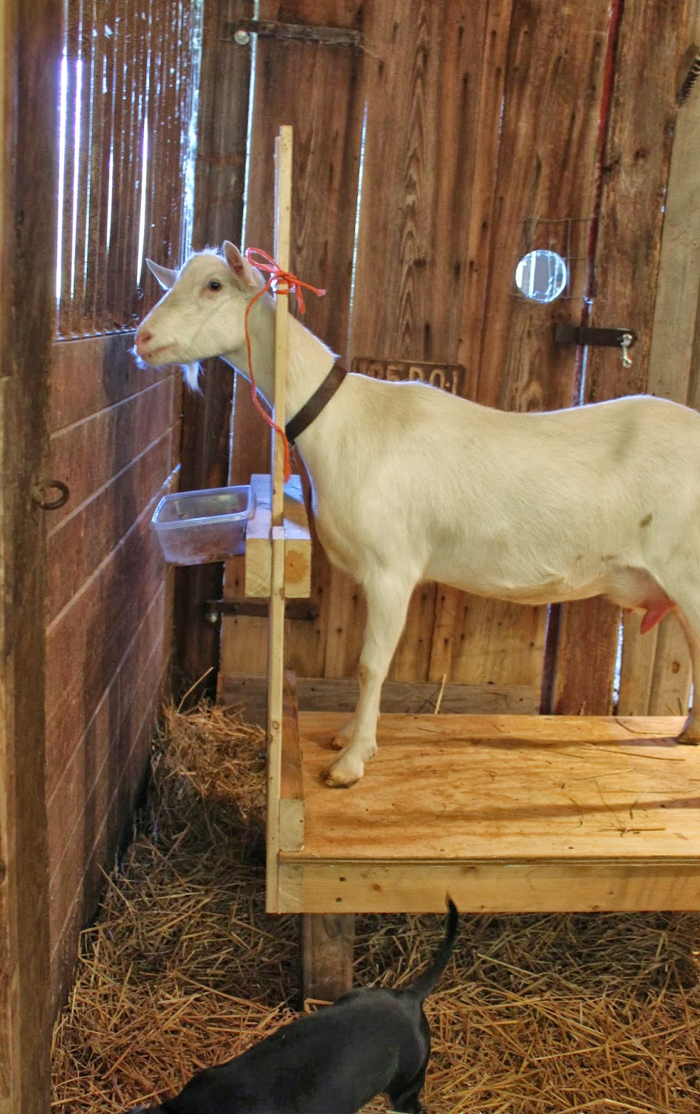 A Goat S Journey Over Life S: ~Ohio Thoughts~: Milking Stand / Stanchion