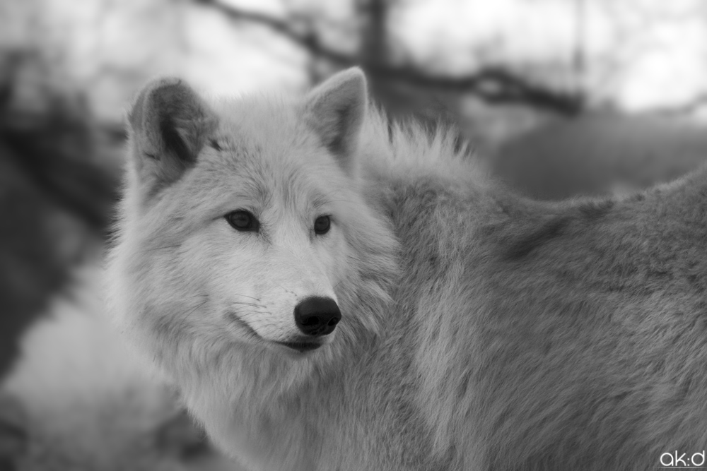 White Wolf With Purple Eyes Fire and Divinity