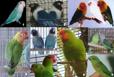 http://dayahguci.blogspot.com/2017/07/jenis-lovebird-dan-gambarnya.html