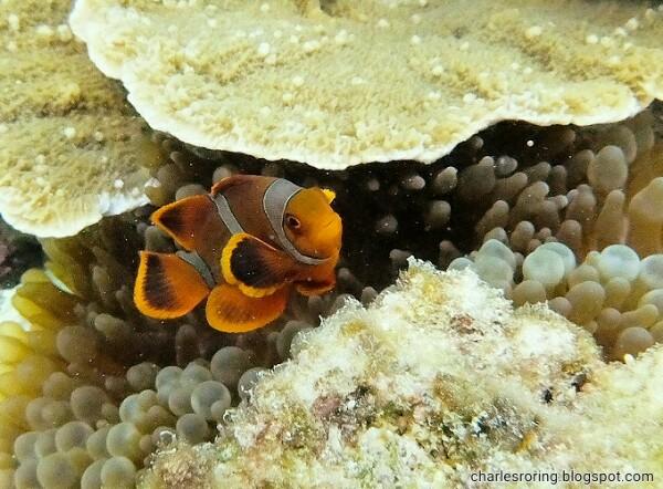 yellow nemo fish