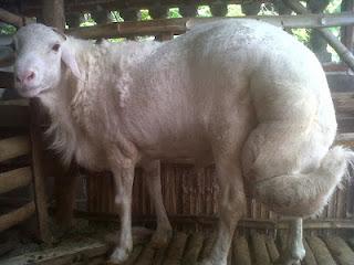 jenis kambing\