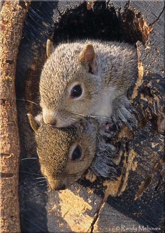 Baby-Squirrels-M41.jpg (532×750) | My Peeps - Squirrels ...
