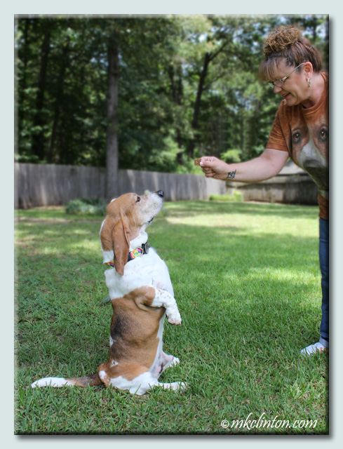 Basset Hound sitting up for a treat