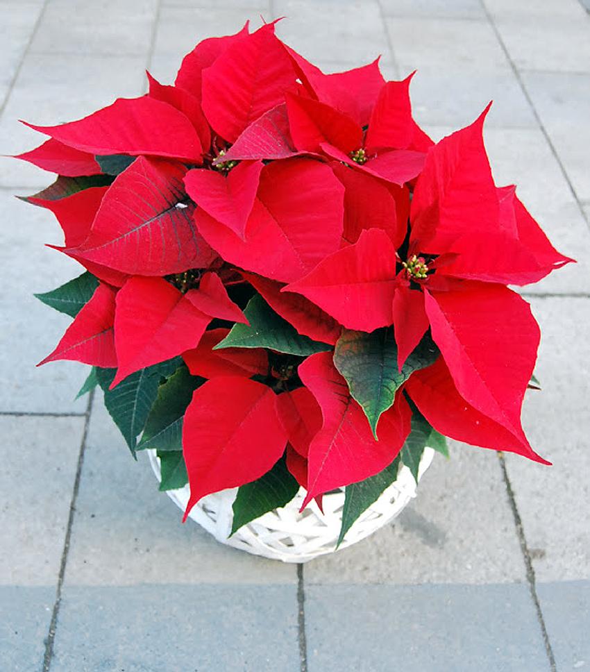 Fotos de flores poinsetia o flor de navidad - Imagenes flores de navidad ...