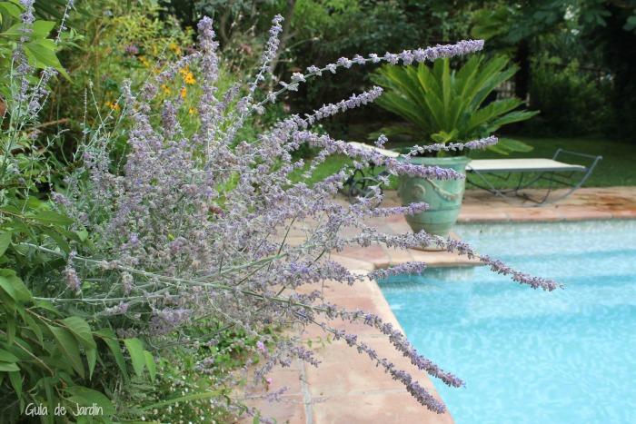 Perovskias en el jardín de la piscina