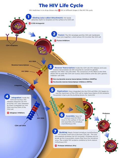 Virus HIV Menyerang Sistem Kekebalan Tubuh Manusia
