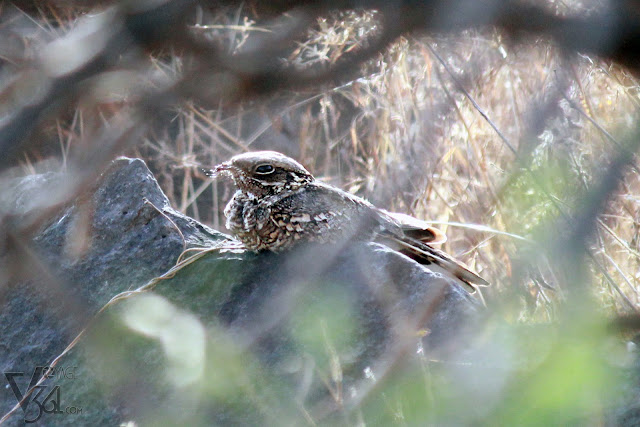 Indian Nightjar - nocturnal bird, lying still on the ground during day time
