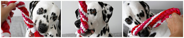 Dalmatian dog playing with a double spiral woven fleece homemade Valentine's Day tug toy