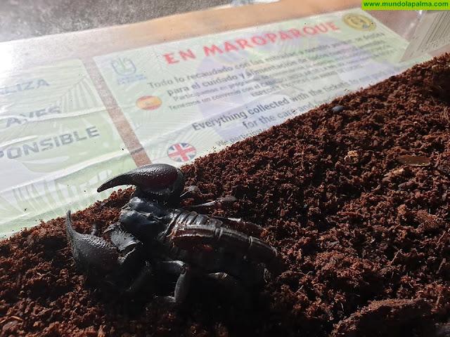 El Maroparque acoge a un ejemplar de Escorpión Emperador abandonado por su propietario
