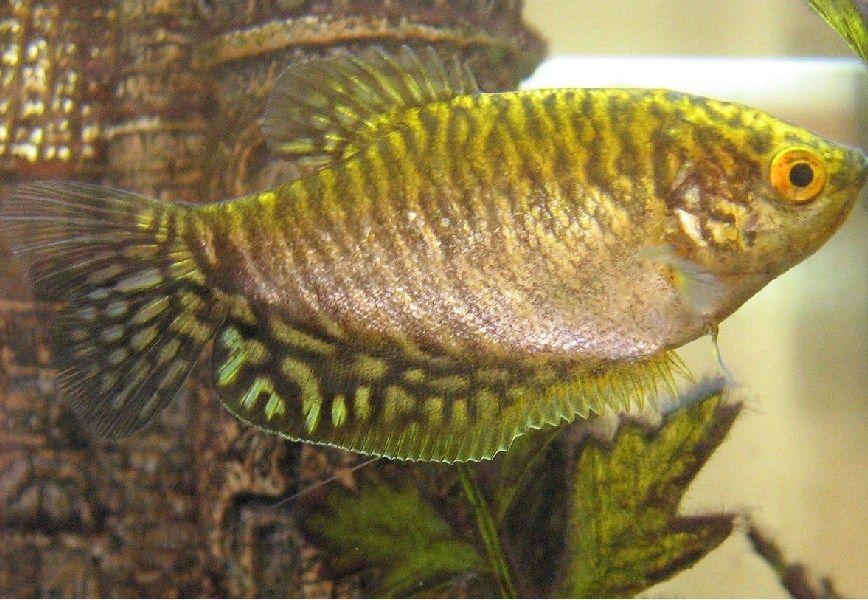 Ikan Sepat Rawa, sepat Siam