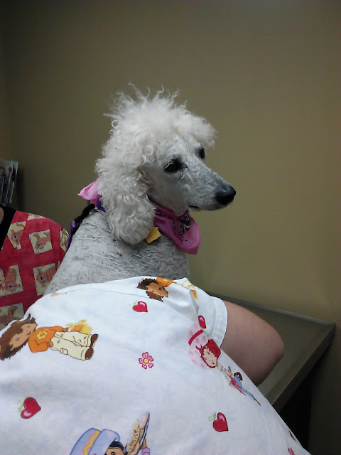 Poodle looking sad sitting on vet table