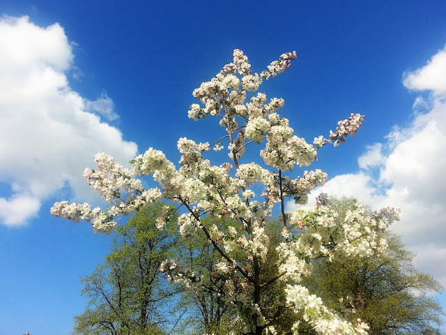 White blossom tree against a bright blue sky.
