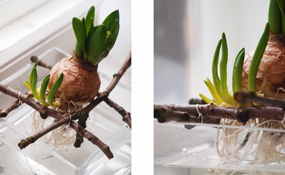 Blomsterdekoration med hyacinter og lavgreve