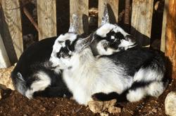 Goats 01