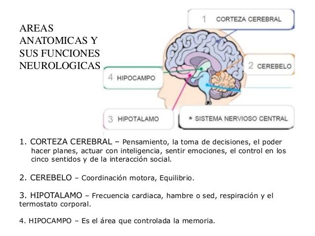 Efectos del alcohol en el cerebro
