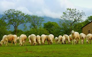 Kiếm trăm triệu mỗi năm nhờ chăn cừu ở chân cầu Vĩnh Tuy – Hà Nội