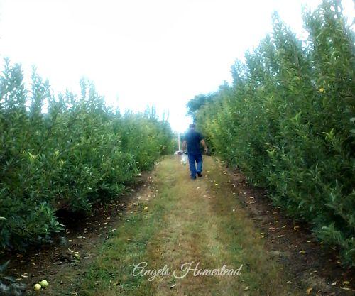 Home Sweet Homestead: U Pick Apple Farm