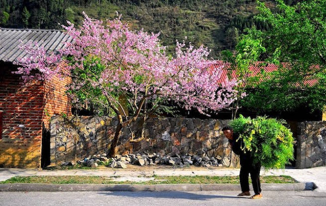 Peach blossom on the journey to discover the Ha Giang Plateau