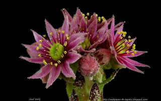 http://wallpaper-4k-tapety.blogspot.com/2015/02/rojnik-murowy-purpureum-sempervivum.html