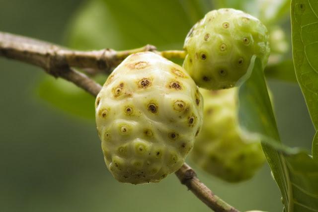 моринда цитрусолистная плоды