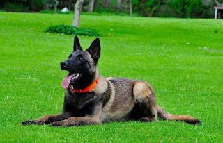 Como Adestrar um Belga Malinois - Como Cuidar de um Cachorro Malinois?