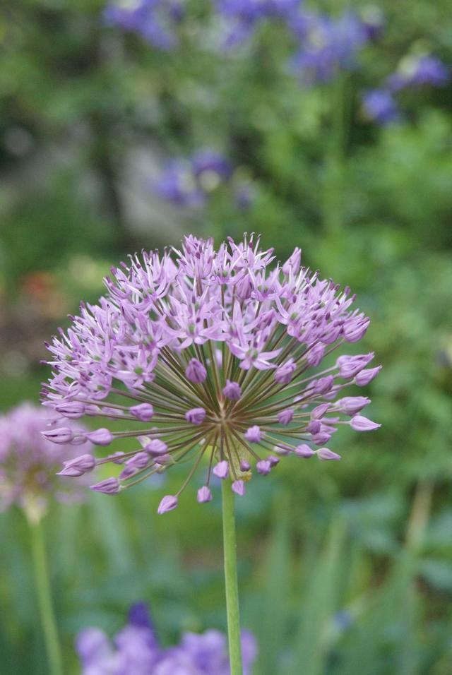 Alliumblüte im Mai