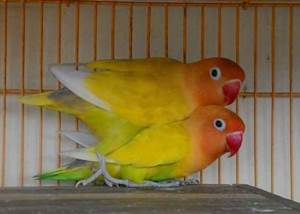 440+ Foto Gambar Burung Lovebird Kuning HD Paling Bagus Gratis