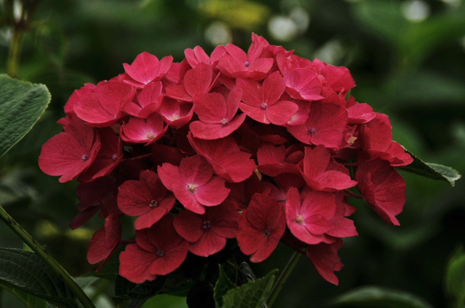 Flower Talk Hydrangea Roll Out