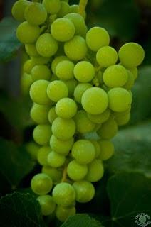 Grape Photo Season in Idaho