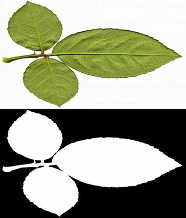 rose leaf texture