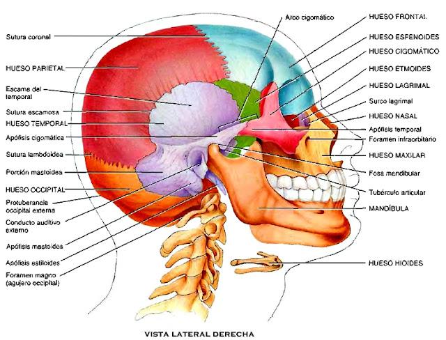 Huesos cráneo plano transversal anatomía