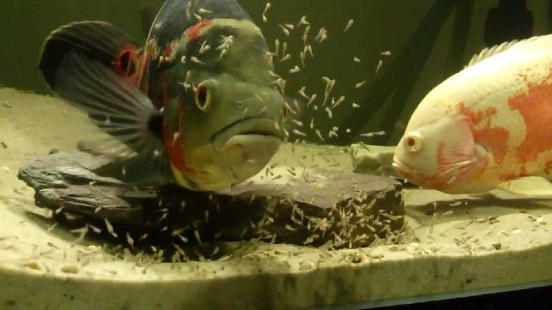 Gambar Cara Budidaya Ikan Oscar Agar Berhasil - Induk Oscar Merawat Burayaknya