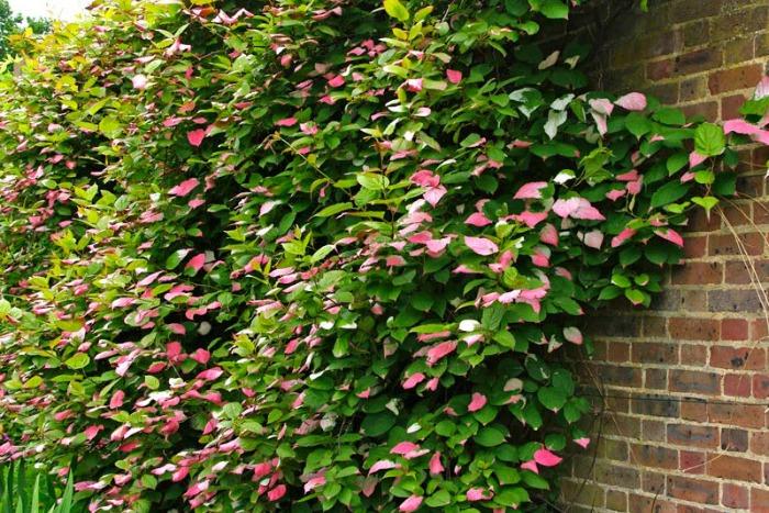 10 plantas trepadoras para climas fr os guia de jardin for Plantas trepadoras para muros