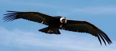Foto de un cóndor con las alas extendidas
