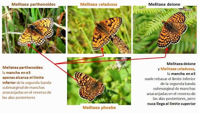 Comparativa alar de Melitaea phoebe y otras Melitaea