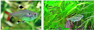 Mengenal Ikan Hias X-Ray Pristella Tetra yang Unik dan Cantik