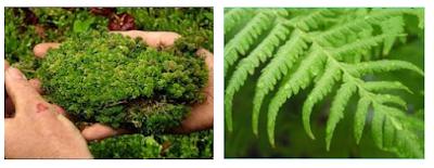 Perbedaan Tumbuhan Lumut dengan Tumbuhan Paku