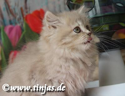 BLH Kitten 9 Wochen tinjas Lilac golden tabby