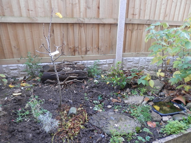 Diary of a suburban edible garden - November 2017. From UK garden blogger secondhandsusie.blogspot.com #permaculturegarden #suburbanpermaculture #ediblegarden #ukgardenblog
