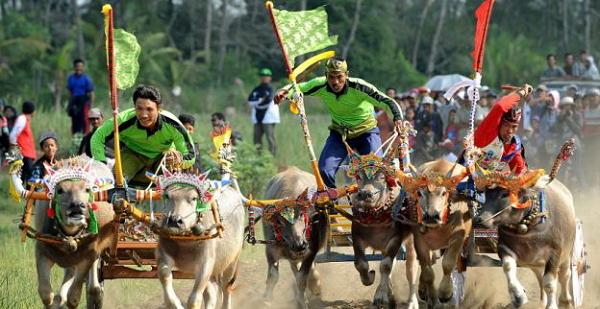 Tradisi Makepung Dari Bali