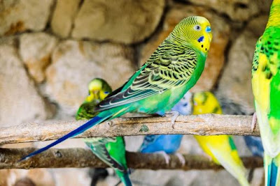 Best pet birds for Beginners